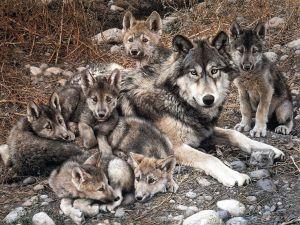 Семья волков - The Family of Wolves (goo.gl/NAxhhJ)