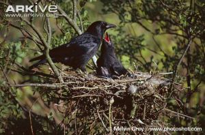 ARKive image ARK009740 - Carrion crow